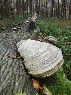 Troudnatec kopytovitý, jedna z našich nejhojnějších dřevokazných hub - Čarovná lékárna kolem nás Firewood, Texture, Bird, Outdoor Decor, Crafts, Home Decor, Surface Finish, Woodburning, Manualidades