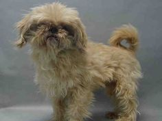 Super urgent Brooklyn - LEO - #A0978754 - **RETURNED 12/20/16* - NEUTERED MALE CREAM SHIH TZU MIX, 8 Yrs - STRAY - HOLD FOR ID Reason STRAY - Intake 12/20/16 DueOut 12/28/16 - LITTLE TENSE BUT ALLOWED HANDLING