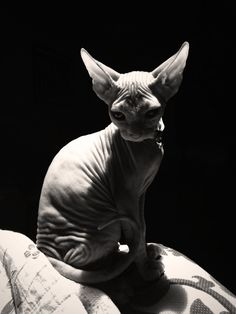 """(Want a Sphynx Cat so bad, I want to name her 'Raisin'.) * * CAT: """" DAT'S A COOL NAME, BUTS REMEMBER DAT RAISINS BE WORRIED GRAPES. Meow-ha ! """""""