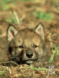 Grey Wolf, Pup at Den in Spring Photographic Print at Art.com