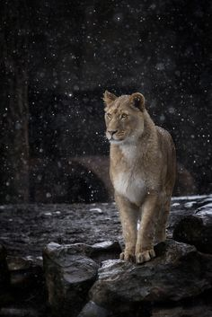 ♂ wildlife photography Lion in snow by Willian T Hornday