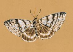 Catocala relicta - Rachael Elam Bonebright