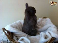 *RESERVED*Chocolate Mini Lop Pure Bred Doe Rabbit | Preston, Lancashire | Pets4Homes