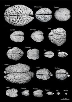 "emt-monster: "" asapscience: "" A comparative look at the brain sizes of different species. "" Brain size is interesting if you compare it to body size. The larger the body, the more brain is needed to. Brain Anatomy, Anatomy And Physiology, Human Anatomy, Brain Science, Science And Nature, Brain Size, Human Body, Biology, Chemistry"