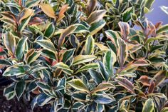 Twenty Evergreen Shrubs For Non-Stop Color Evergreen shrubs don't disappoint. Add them to your landscape for vibrant flowers, leaves and stems in every season. Evergreen Flowering Shrubs, Evergreens For Shade, Tall Shrubs, Evergreen Landscape, Bushes And Shrubs, Evergreen Flowers, Shrubs For Landscaping, Garden Shrubs, Inexpensive Landscaping