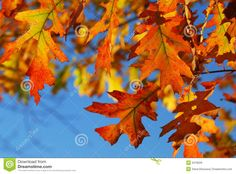Fall Oak Leaves Royalty Free Stock Images - Image: 3478029