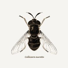 Fly illustration iPad Wallpaper from a Scientific illustration of a rare hover fly called Callicera aurata.