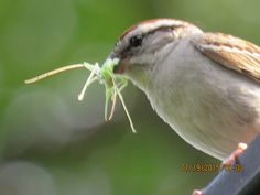 Bird Photos, Birding Sites, Bird Information: CHIPPING SPARROW WITH DINNER, THORNHILL, ON
