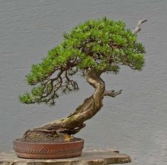 9 Great Ideas for Caring for a Bonsai Tree Bonsai Tree Care, Bonsai Tree Types, Indoor Bonsai Tree, Mini Bonsai, Bonsai Art, Bonsai Plants, Bonsai Garden, Indoor Plants, Indoor Outdoor