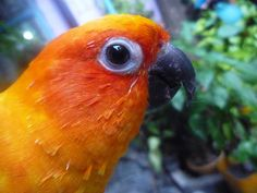 https://flic.kr/p/7wRvke | sun parakeet | The Sun Parakeet or Sun Conure (Aratinga solstitialis) is a medium-sized brightly coloured parrot native to northeastern South America. The adult male and female are similar in appearance, with predominantly golden-yellow plumage and orange-flushed underparts and face. It is commonly kept in aviculture. The species is endangered, threatened by loss of habitat and trapping for the pet trade.