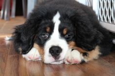My Bernese Mountain dog, Theodore.