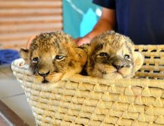 Two lion cubs peer out from their basket at Akiyoshidai Safari Land in Mine, Yamaguchi Prefecture, on May 25. (Kae Terao)