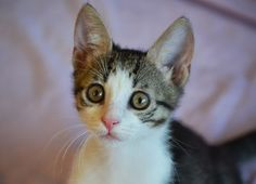 Femela  Data nasterii: ~1.04.2013  Deparazitata intern/extern   Rose este o pisicuta tare jucausa si curioasa. E oricand pregatita de joaca si nu refuza niciodata o sesiune de mangaieri. Se lasa cu mult tors si framantat de cozonacei. Daca vrei sa primesti in familia ta asa minunatie de pisica, trimite un mail la asociatia.robi@gmail.com , iar daca vrei s-o bucuri nespus si pe Rose, adopt-o impreuna cu una dintre surioarele ei : Lily, Ivy si Iris.