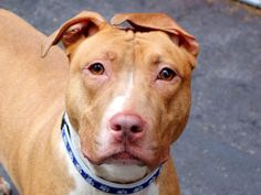 **GONE~~RIP Henni** My name is HENNI. My Animal ID # is A1040307. I am a spayed female brown and white APBT mix. I am 1 YEAR old. I came in the shelter as a OWNER SUR/NYCHA BAN. ☆★ TO ADOPT THIS ANIMAL THROUGH THE PUBLIC ADOPTION SITE, PLEASE GO TO THE FOLLOWING LINK AND SCROLL DOWN TO BOTTOM TO LOG IN AND RESERVE THE ANIMAL. THERE WILL BE A $202 DEPOSIT REQUIRED. $150 WILL BE REFUNDED ONCE PROOF OF SPAY/NEUTER IS SUPPLIED. http://www.nycacc.org/PublicAtRisk.htm ☆★