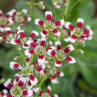 Saxifraga southside seedling - This plant makes large rosettes of very pale green leaves heavily encrusted with silvery deposits, the encrustation being limestone exuded by the leaves, hence the requirement for chalky soil. When it reaches full size, the plant flowers, producing tall arching plumes of white flowers, which are heavily spotted with red near the base of each petal. The plant then dies, leaving several offsets  identical to parent. Also seeds making hybred seedlings.