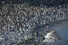Magdalena island Round Trip, How To Dry Basil, Penguins, Chile, City Photo, Places To Go, Wildlife, Tours, Island