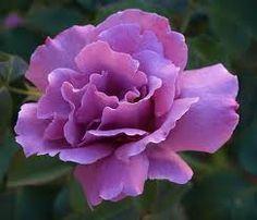 Purple Rose Wallpaper for Desktop Purple Roses Wallpaper, Flower Wallpaper, Beautiful Roses, Purple Flowers, Beautiful Flowers, Flowers Pics, Rose Pictures, Rose Photos, Rose Varieties