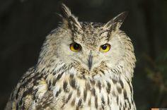 Bubo Sibiricus - Siberian Eagle Owl
