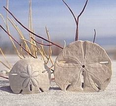 sand dollar~~~ #sea #ocean #beach #sand_dollar by josefina