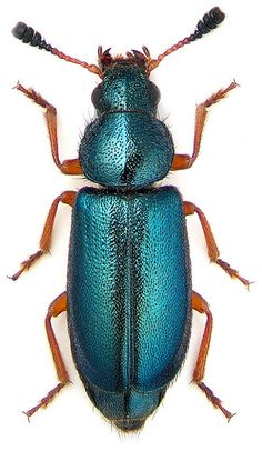 necrobia_rufipes.jpg 464×800 pixels: Insect 20, Rufipes Blue, Beautiful Bugs, Blue Gleamy, Insects Bugs, Bugs N Beetles N Insects, Bugs Insects