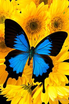 'Purple Butterfly On Sunflower' by Garry Gay Butterfly Painting, Butterfly Wallpaper, Butterfly Watercolor, Purple Butterfly, Blue Butterfly, Art Papillon, Flying Flowers, Blue Morpho, Butterfly Pictures