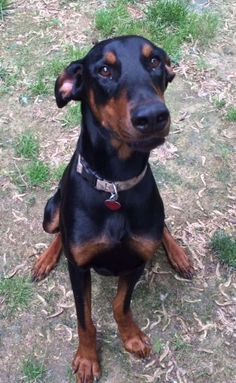 Meet Beau, a Petfinder adoptable Doberman Pinscher Dog | Saint Charles, MO | You can fill out an adoption application online on our official website.Hi, my name is Beau...