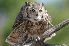 Great horned owl   Flickr - Photo Sharing!