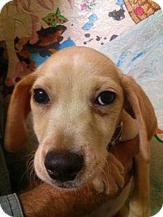 st. pete., FL - Dachshund/Beagle Mix. Meet Swampy, a puppy for adoption. http://www.adoptapet.com/pet/13269225-st-pete-florida-dachshund-mix