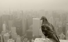 Beautiful Pigeon Photos