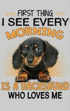 The Diverse Dachshund Breed - Champion Dogs Dachshund Breed, Dachshund Quotes, Long Haired Dachshund, Mini Dachshund, Daschund, Dachshund Humor, Memes Humor, Funny Humor, Clever Dog