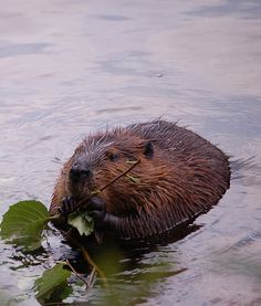 Beavers hold my heart...i realize that sounded a little strange...