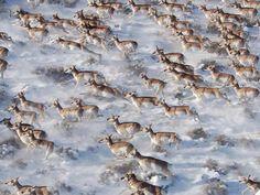 Pronghorn (Antilocapra americana) running in snow.