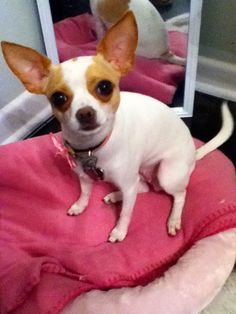Lost Dog - Chihuahua Short Haired - Forestburg, TX, United States 76239