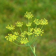 Fennel Flower | Check out 151 Types of Flowers Common In The U.S. & Their Characteristics at http://pioneersettler.com/types-of-flowers/