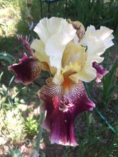 Iris Karibik Branches Et Boutons | Garden Irises  Irissen | Pinterest | Iris,  Flowers And Gardens