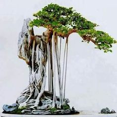 Bonsai en roca.