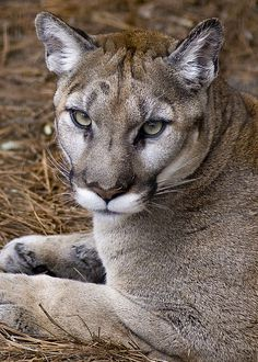 This cougar doesn't seem too pleased about having his photo taken!!