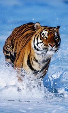 <3 tigers <3