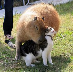 他の動物と仲良しのカピバラ01 よく考えたらでかいネズミでしたね…