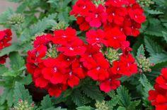 Tried & True Verbena Sweet Dreams Red Dawn Verbena, Red Flowers, Sweet Dreams, Dawn, Arch, Plants, Longbow, Arches, Planters