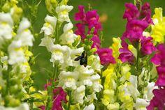 Das Löwenmäulchen zählt zu der Familie der Wegerichgewächse und trägt die botanische Bezeichnung Antirrhinum majus. Die Zierpflanze ist normalerweise einjährig, kann aber durchaus mit dem richtigen Schutz einen milden Winter überstehen oder an einem frostfreien Platz überwintern. Das Löwenmaul stammt ursprünglich aus dem mediterranen Raum und ist sowohl in Südeuropa als auch in Nordafrika beheimatet. Die Gartenblume ist pflegeleicht und vermehrt sich durch Selbstaussaat, wenn