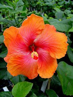 Hibiscus 'Orange Fire'