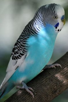 Awe this guy reminds me of Pepper, one of my parakeets