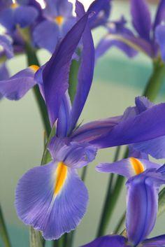 ris flowers
