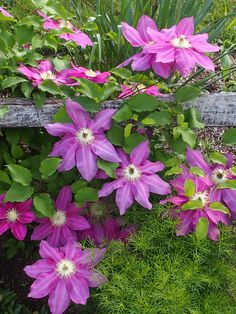 https://flic.kr/p/nGUbvz | P6100083 | Clematis, from the garden of Grace Amidon