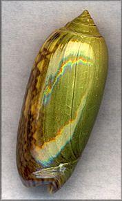 Oliva Sayana Ravenel,  collected on sand bar near Black Island, St. Joseph Bay, Florida, July, 1999 (52 mm.) | Digital images By Jim Miller