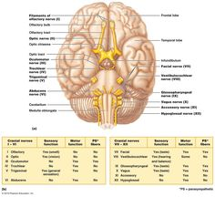 Cranial nerves, Nerves of the body and Google on Pinterest