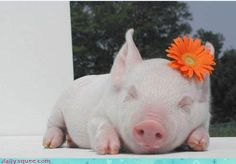 Sassy...maybe this piglet is from the Oklahoma State Ag Barn.  See the bright orange flower!