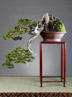 Stunning cascade pine Bonsai, by 詹姆士. www.bonsaiempire.com #bonsai #nature #tree #japan