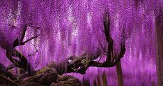 Funny pictures about This Wisteria In Japan Looks Like A Pink Sky. Oh, and cool pics about This Wisteria In Japan Looks Like A Pink Sky. Also, This Wisteria In Japan Looks Like A Pink Sky photos. Wisteria Japan, Wisteria Plant, Purple Wisteria, Wisteria Tunnel, Wisteria Trellis, Wisteria Garden, Wisteria Wedding, Purple Garden, Beautiful World
